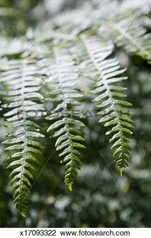 Stock Photo of Ferns fronds, leaves catching sunlight, close.