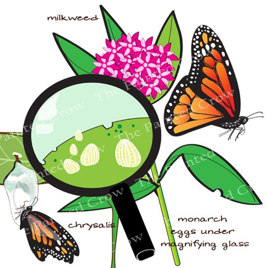 Monarch Butterfly Life Cycle Clip Art.