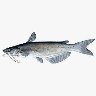 Catfish Png File.