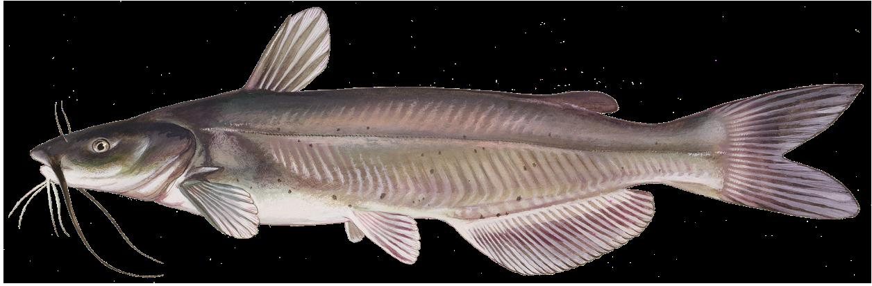 Download Catfish Transparent PNG.