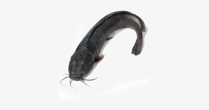 Fresh Water Catfish.