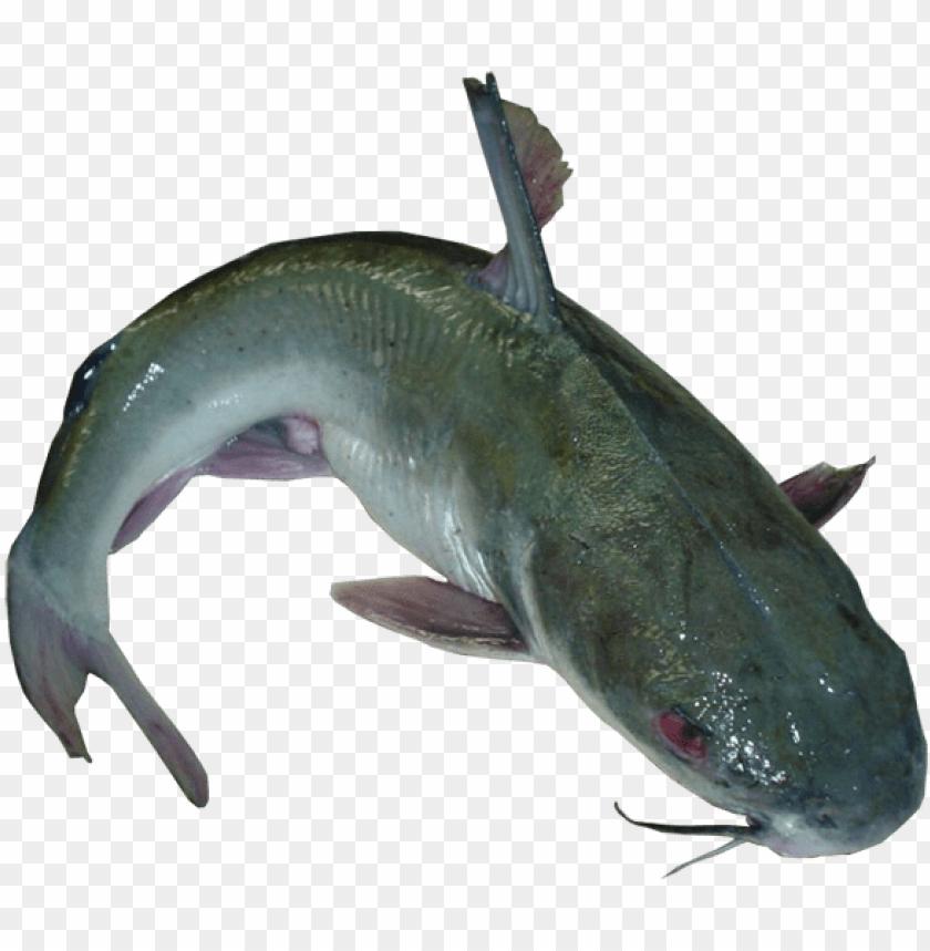 com/product/fresh catfish eterobrancus/.