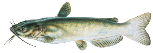 Download Free png Catfish PNG Clipart.