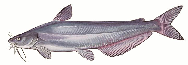 Blue catfish.