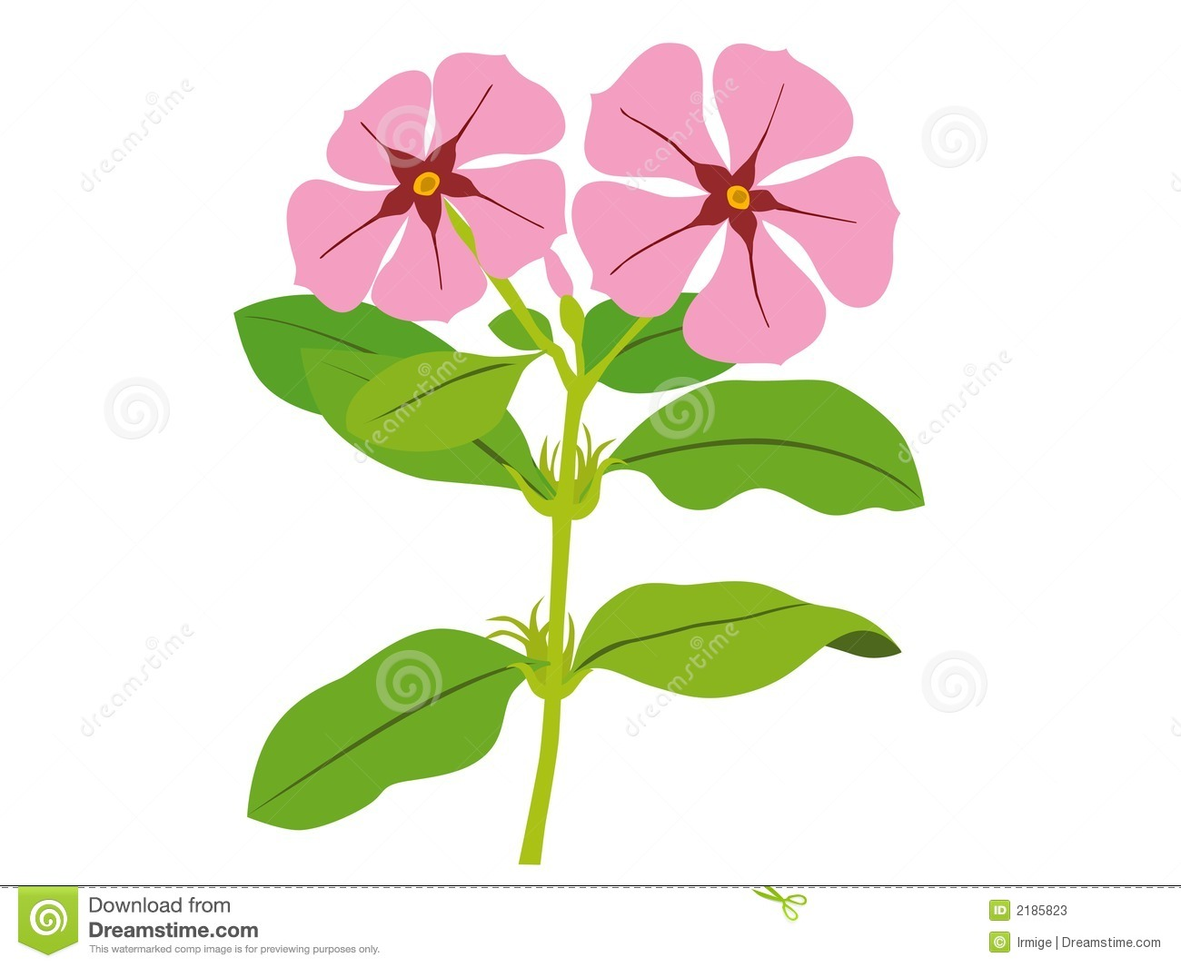 Catharanthus Roseus Stock Photos.