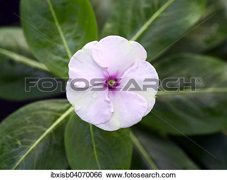 "Stock Images of ""Madagascar Periwinkle (Catharanthus roseus."