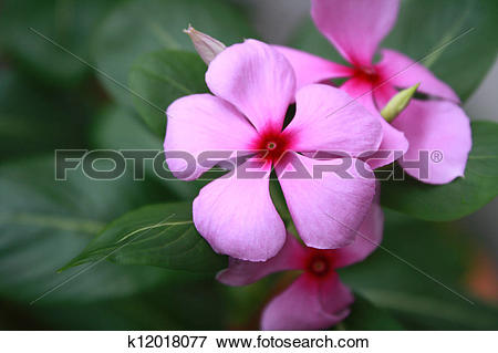 Picture of Pink Rosy Periwinkle Flowers (Catharanthus roseus.