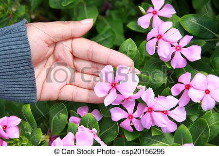 Stock Photographs of Pink catharanthus roseus in the garden.