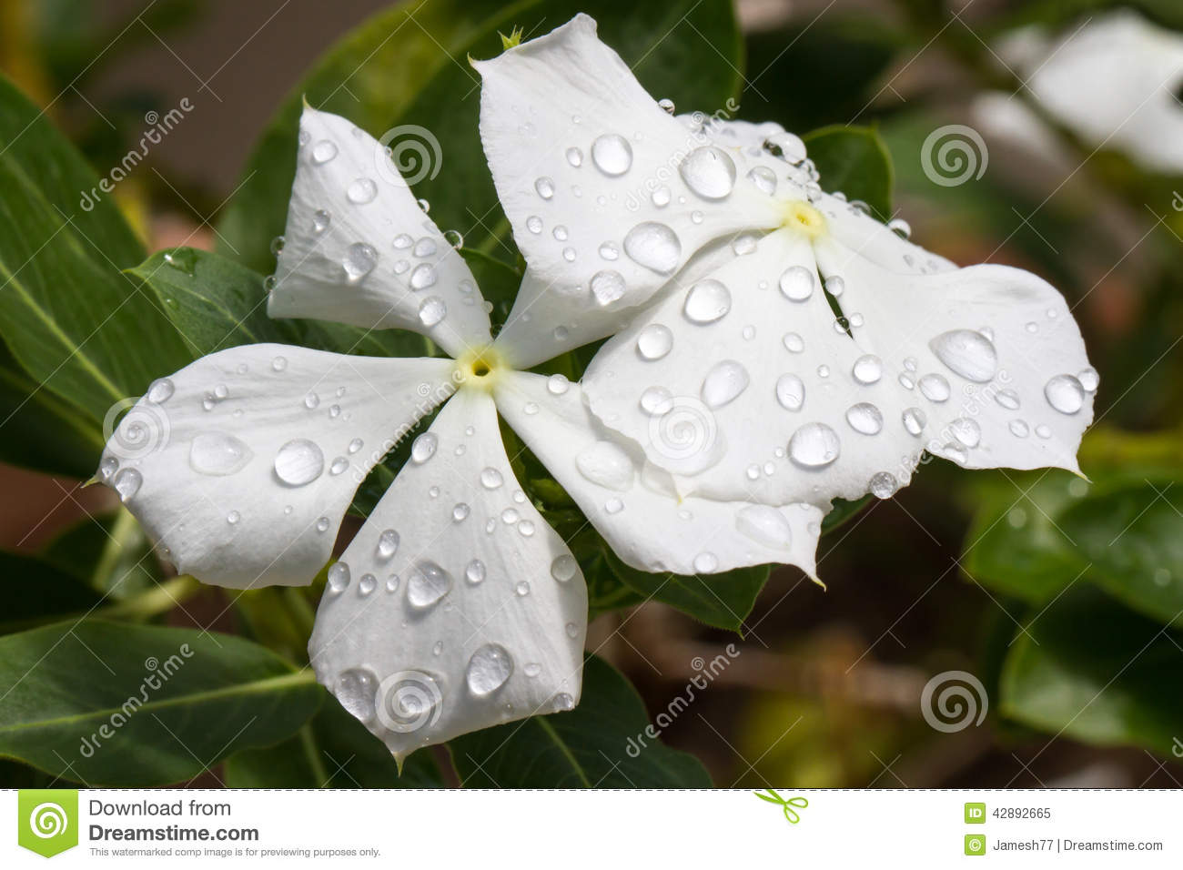 Catharanthus Roseus Alba Stock Photo.