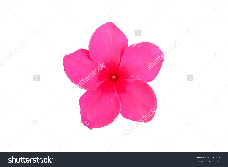 Vinca Rosea Flower Catharanthus Roseus Madagascar Periwinkle.