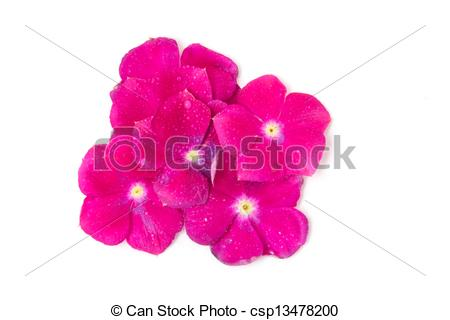 Stock Photography of vinca rosea Flower Catharanthus roseus.
