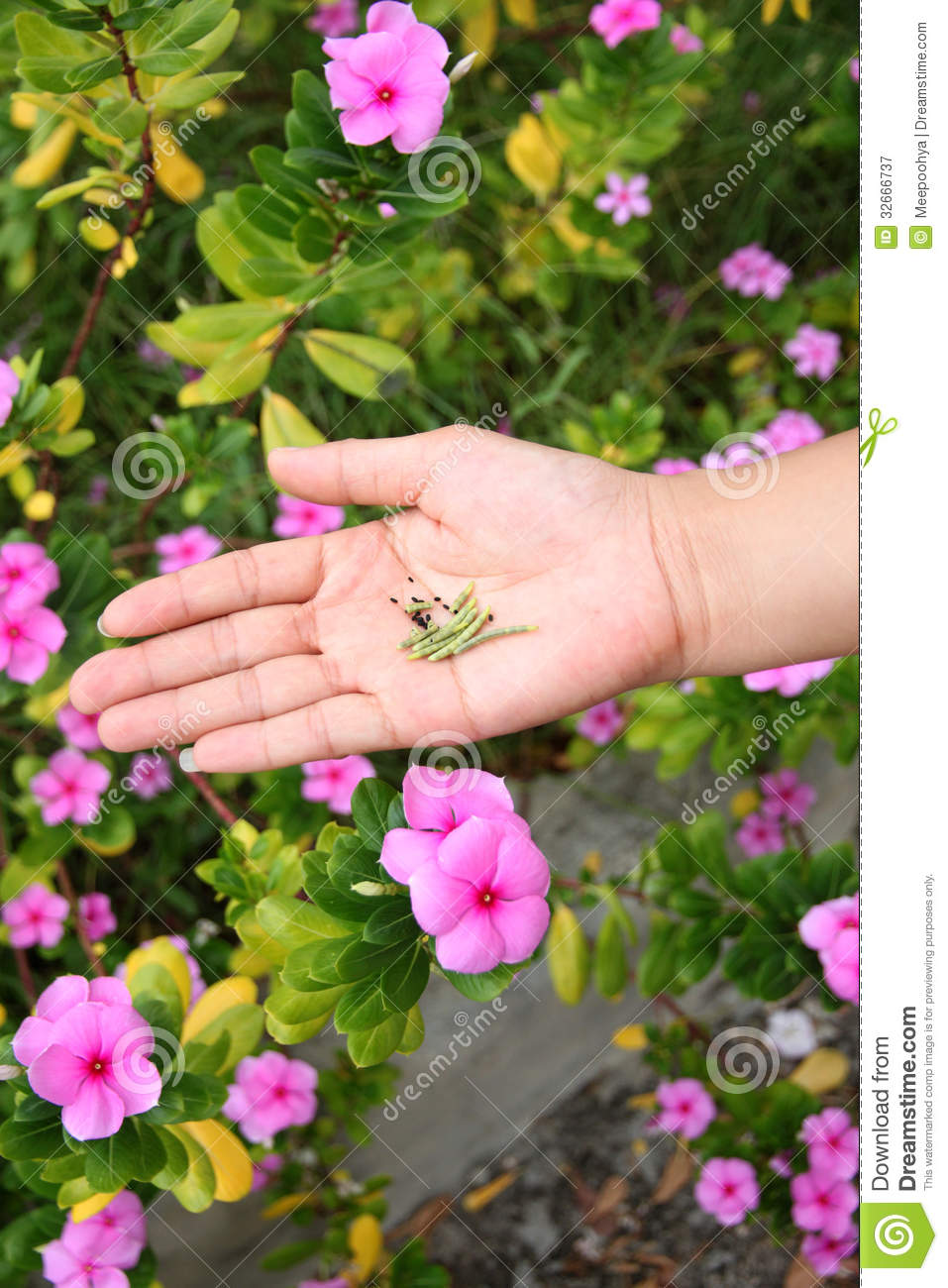 Seed Of Catharanthus Roseus In Hand. Royalty Free Stock.