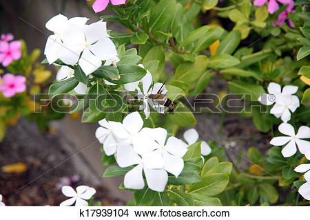 Stock Photo of White Catharanthus roseus in the garden. k17939104.