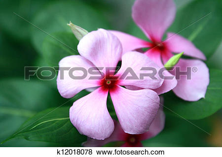 Pictures of Pink Rosy Periwinkle Flowers (Catharanthus roseus.