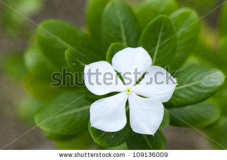 Vinca Minor Stock Photos, Royalty.