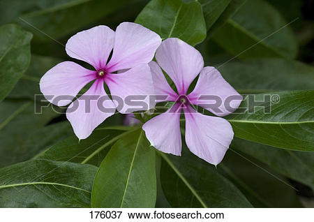 Picture of Madagascar Periwinkle, Rosy Periwinkle (Catharanthus.
