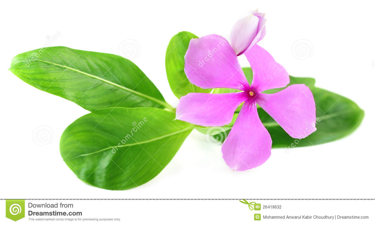 Catharanthus Roseus Stock Photo.