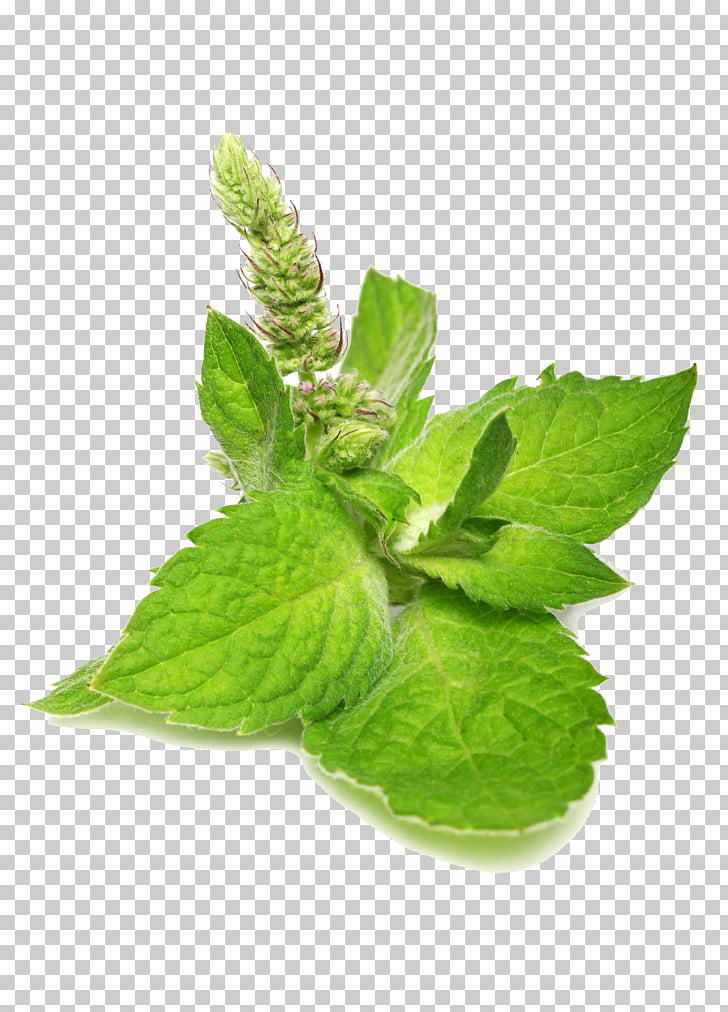 Catnip Mentha spicata Leaf Food, Mint leaf PNG clipart.