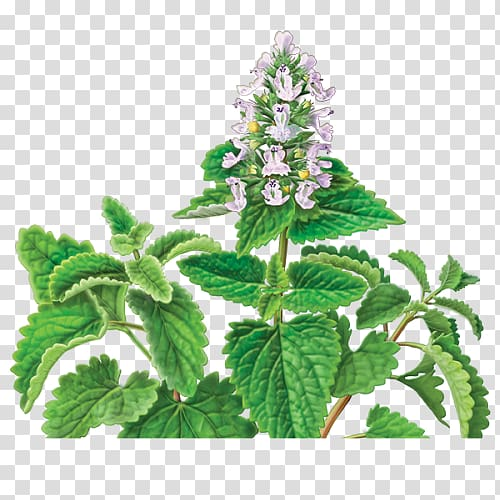 Catnip Herbal tea, cat transparent background PNG clipart.