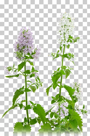92 Catnip PNG cliparts for free download.