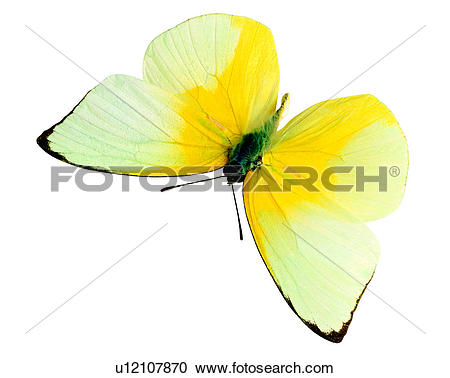 Stock Photography of Butterfly, Catopsilia pomona, Insects, Bugs.