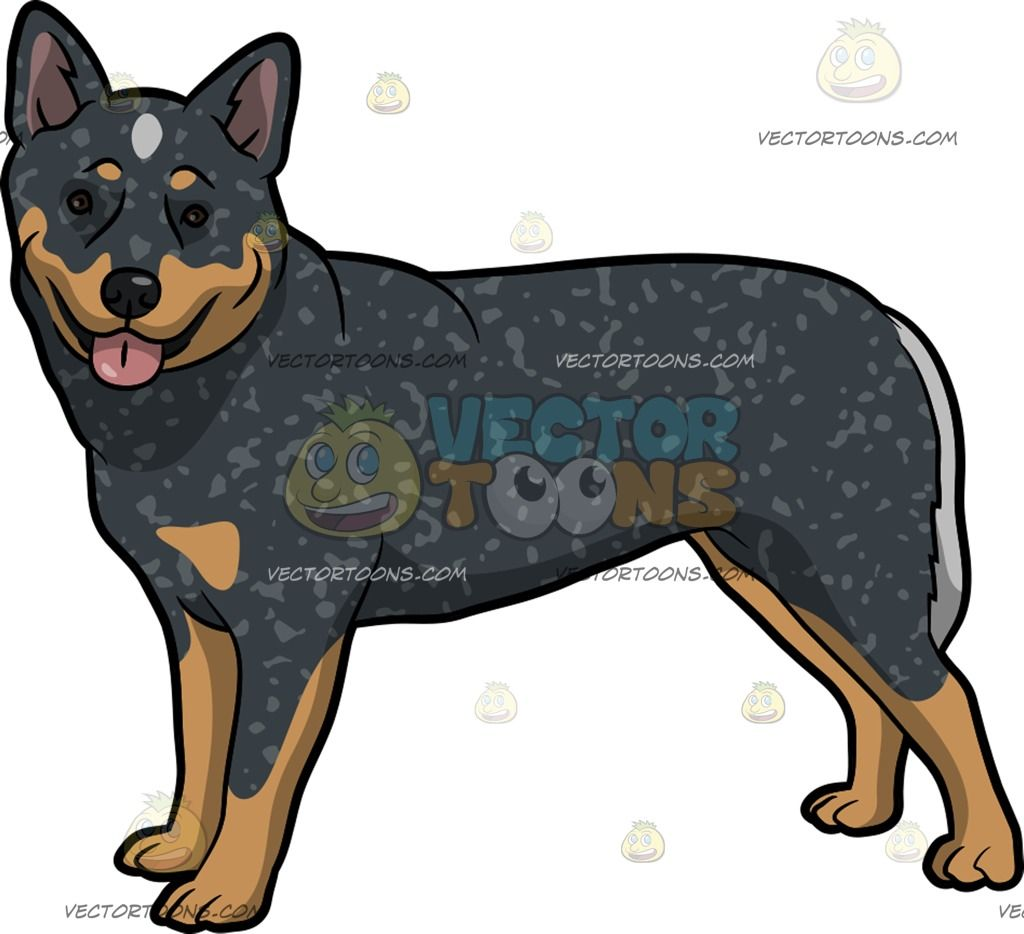 An Adorable Australian Cattle Dog : A dog with dark gray tan and.