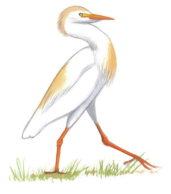 The Cattle Egret.