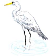 Herons, Egrets, & Cranes.