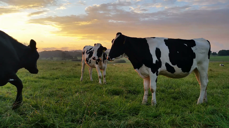 Download Free png Dairy cattle cow farming suns.