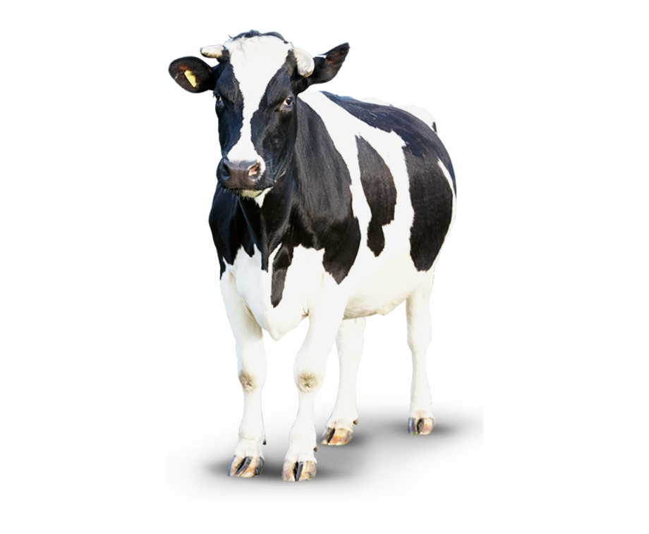 Cow Png.