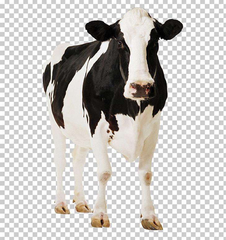 Holstein Friesian Cattle Gyr Cattle Milk PNG, Clipart, Animal.