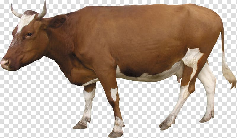 Sheep Southern Yellow cattle Taurine cattle Live Animal Husbandry.