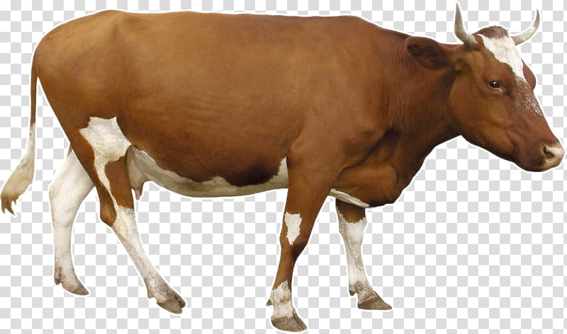 Brown and white cow , Beef cattle Dairy cattle, Brown cow.