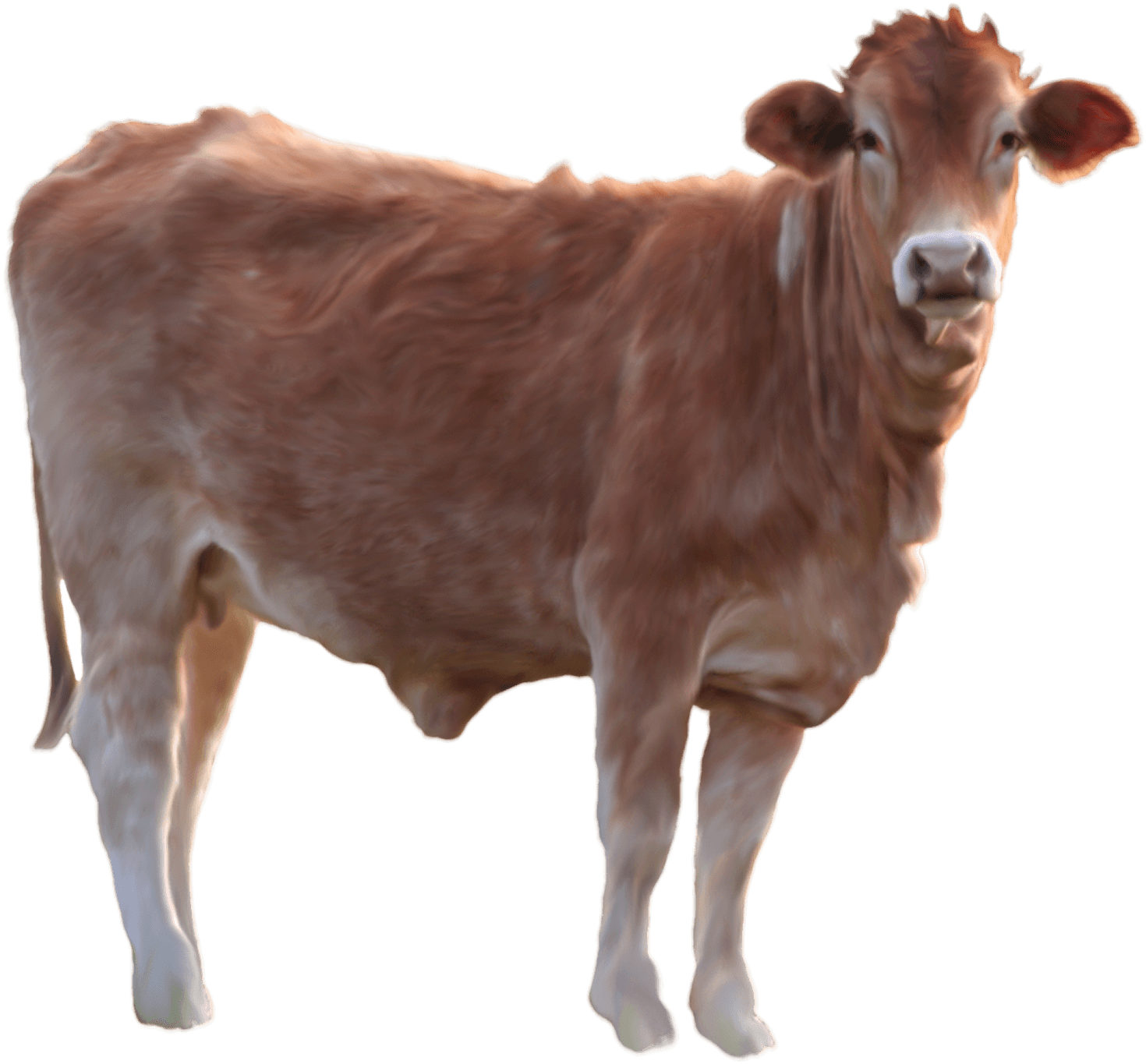 Cow PNG image, free cows PNG picture download.