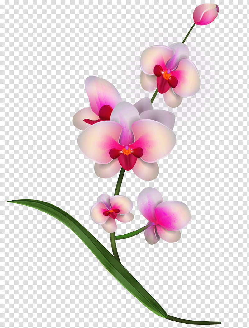 Pink Flower, Orchids, Cattleya Orchids, Blog, Green, Plant.