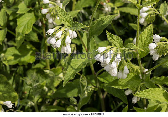 Comfrey White Flower Flowers Stock Photos & Comfrey White Flower.