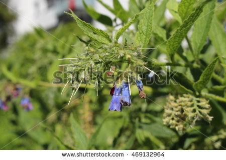 Comfrey Stock Photos, Royalty.