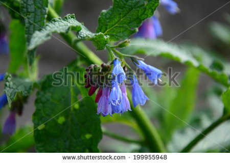 Comfrey Bloom Stock Photos, Royalty.