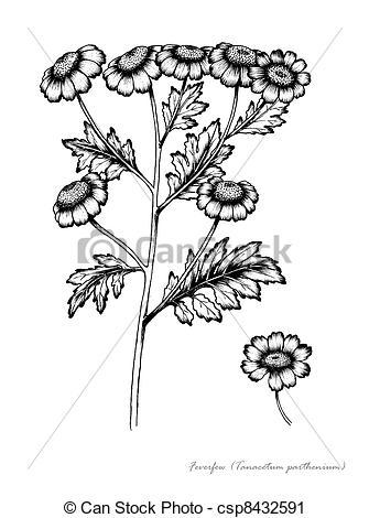 Clipart of Feverfew (Tanacetum parthenium) csp8432591.