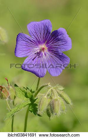 """Stock Photography of """"Caucasian Cranesbill, Caucasus Geranium or."""