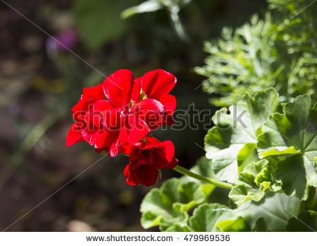 Geranium Species Stock Photos, Royalty.