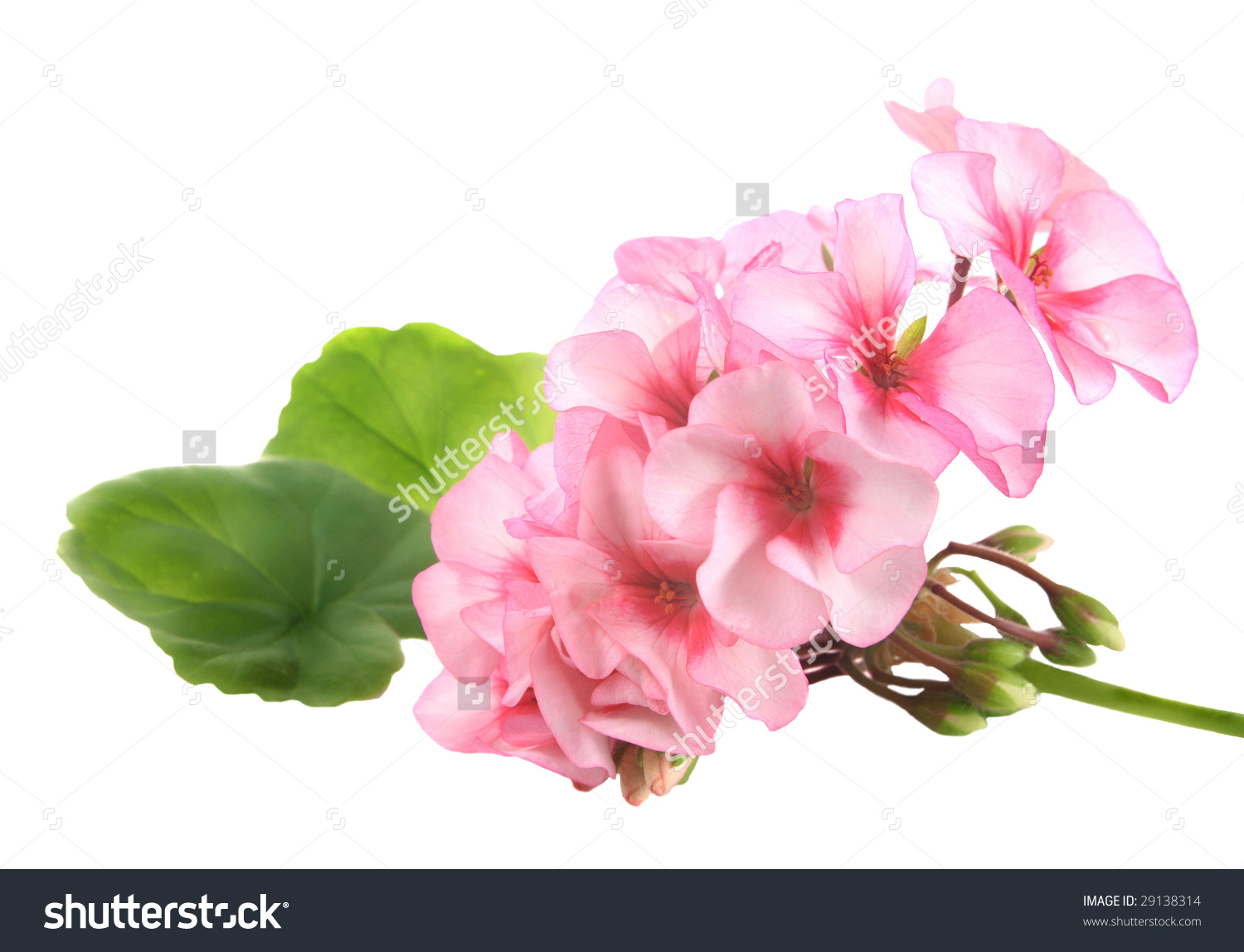 Pink Flowers Of A Geranium With Green Leaves On White Background.