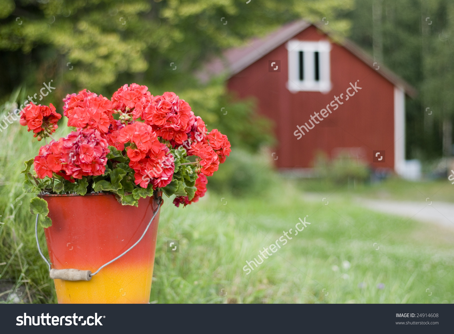 Red Geranium In Bucket Against Finnish Country Stock Photo.