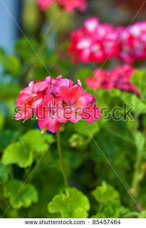 Flowers Garden Geranium Pink Stock Photos, Royalty.