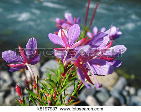 Picture of Pink flowers and river landscape. Caucasus summer.