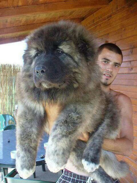 Georgian mountain dog clipart.