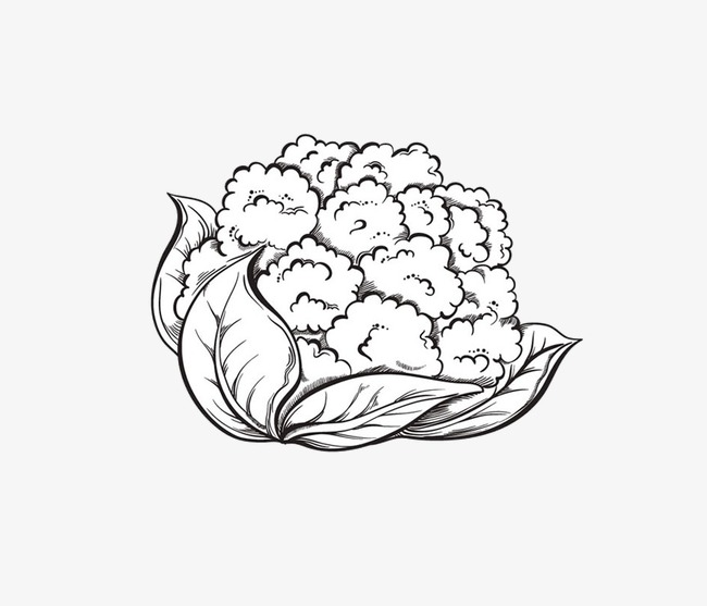 The best free Cauliflower drawing images. Download from 62.