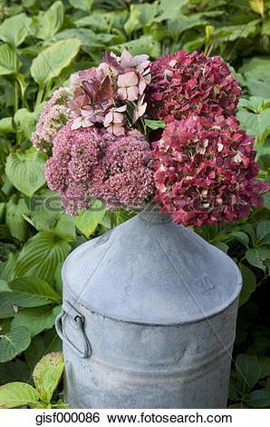 Stock Images of Hydrangea and cauliflower mushroom in a zinc jug.