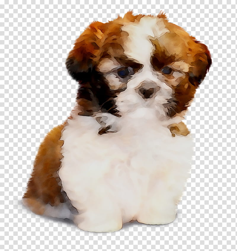 Cavachon transparent background PNG cliparts free download.
