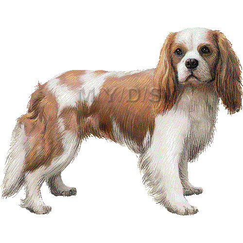 Cavalier King Charles Spaniel clipart graphics (Free clip art.